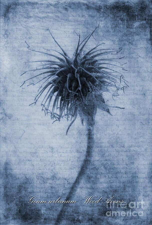 Geum Urbanum Cyanotype Photograph