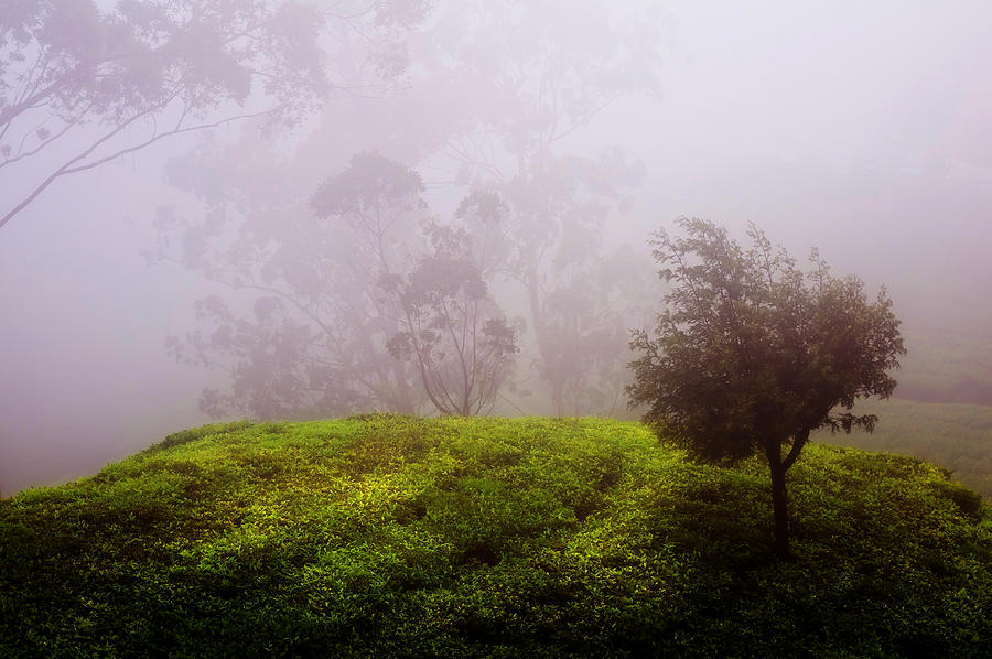 Ghost Tree In The Haunted Forest. Nuwara Eliya. Sri Lanka Photograph