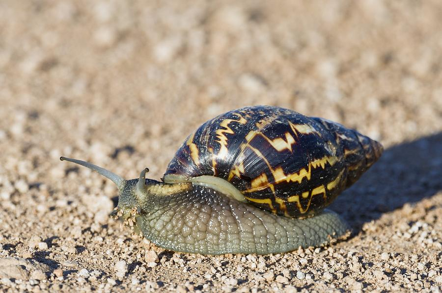 Giant African Land Snail Photograph