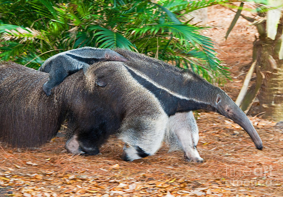 Nature Photograph - Giant Anteater Mother And Baby by Millard H. Sharp