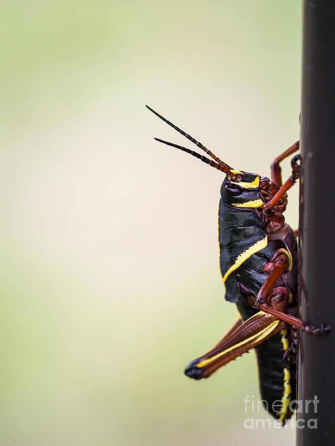 Giant Eastern Lubber Grasshopper Photograph