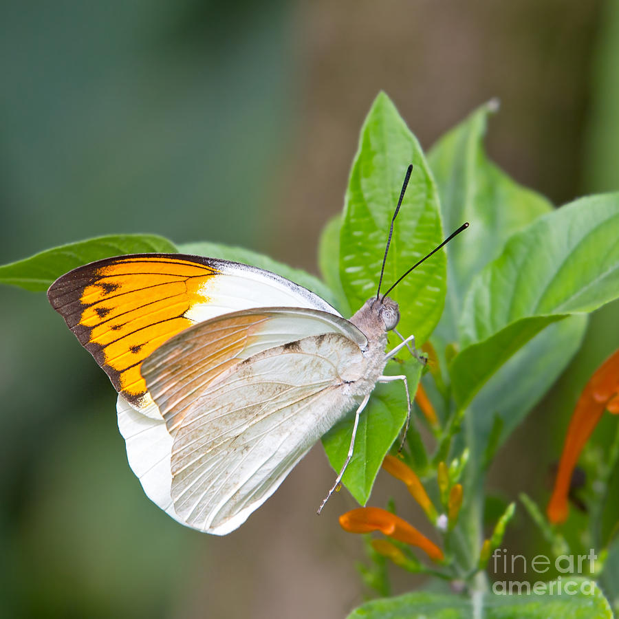 Giant Orange Tip Butterfly Photograph  - Giant Orange Tip Butterfly Fine Art Print