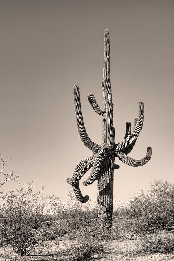 Giant Saguaro Cactus Sepia Image Photograph