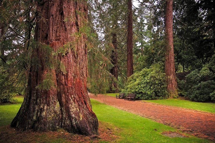 Giant Sequoia Or Redwood. Benmore Botanical Garden. Scotland Photograph