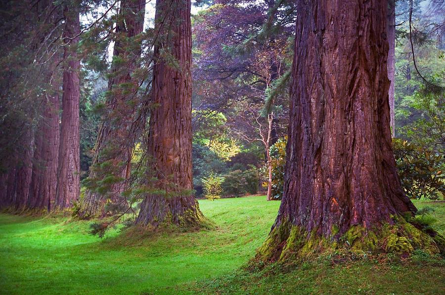 Scotland Photograph - Giant Sequoias II. Benmore Botanical Garden. Scotland by Jenny Rainbow