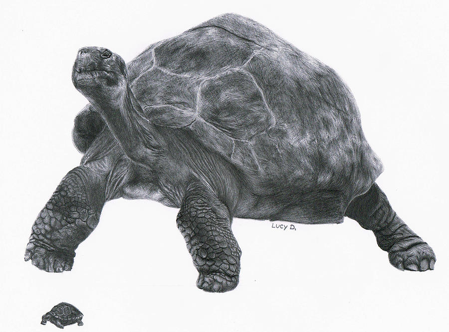 Giant Tortoise Drawing  - Giant Tortoise Fine Art Print