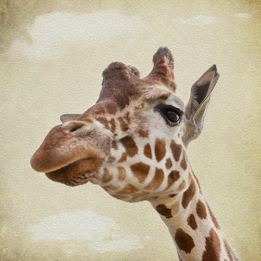 Giraffe Close Up Photograph