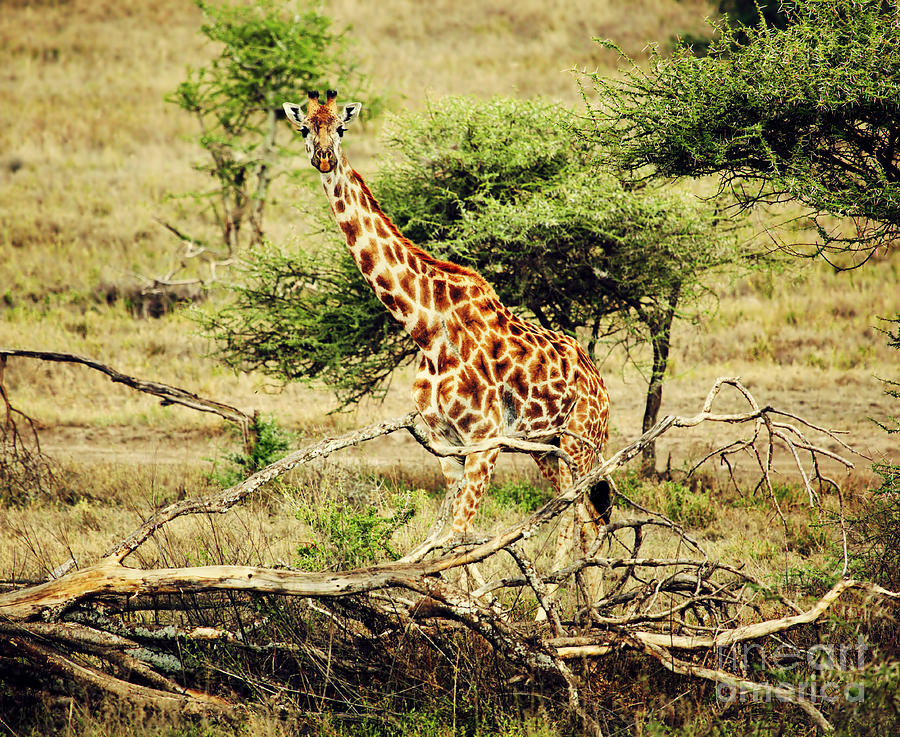 Giraffe On African Savanna Photograph  - Giraffe On African Savanna Fine Art Print