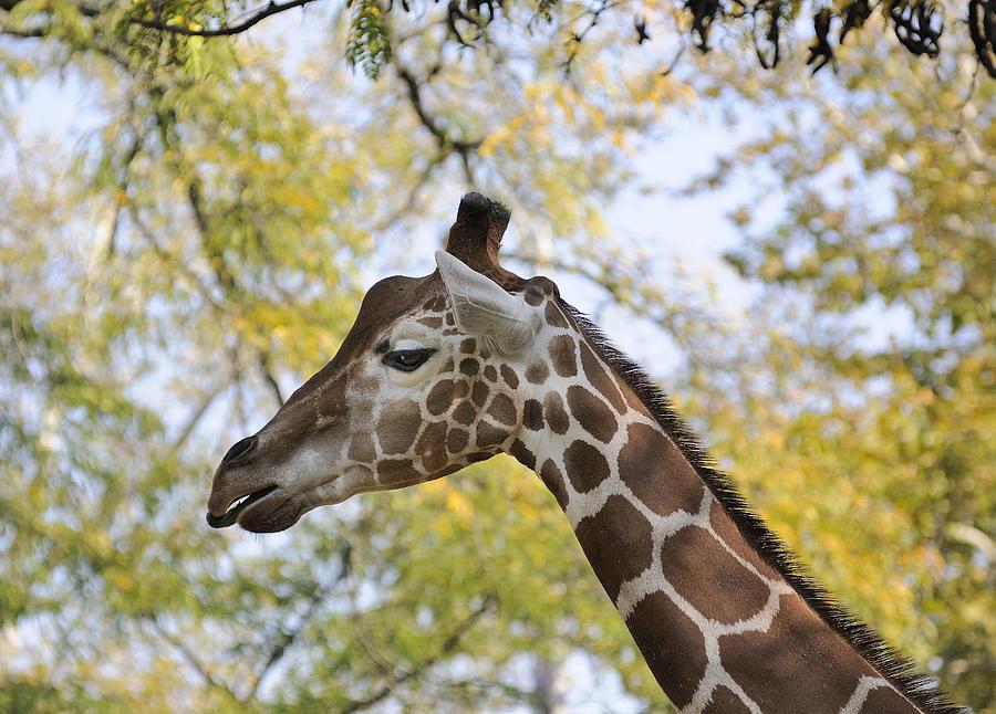Giraffe Profile is a p...