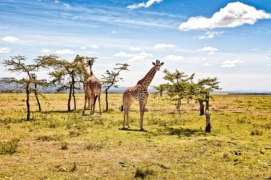 Giraffes In The African Savanna Photograph - Giraffes In The African ...