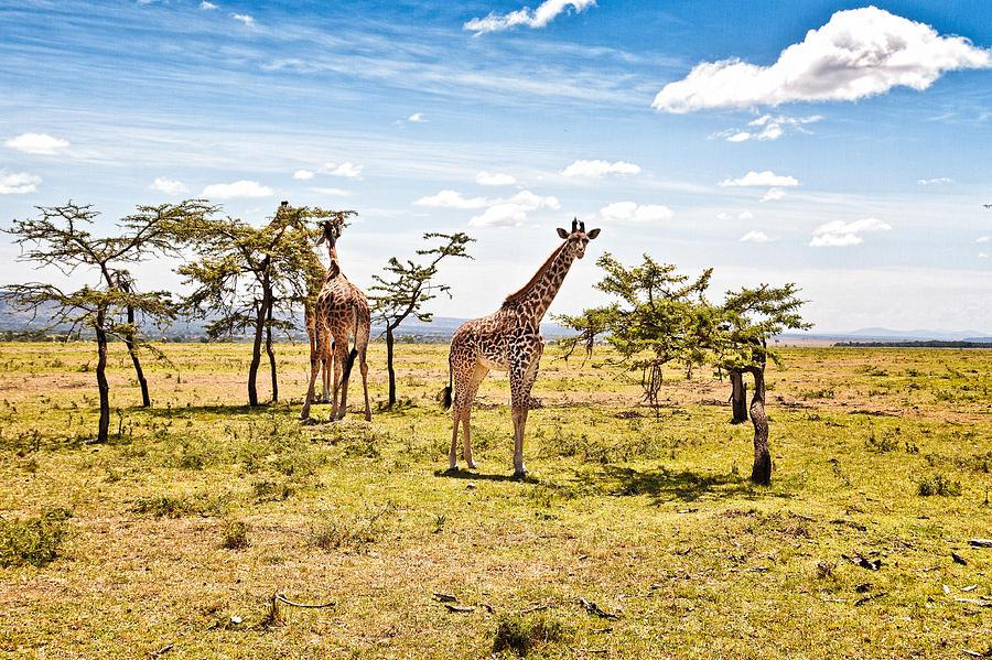 Giraffes In The African Savanna Photograph By Perla Copernik