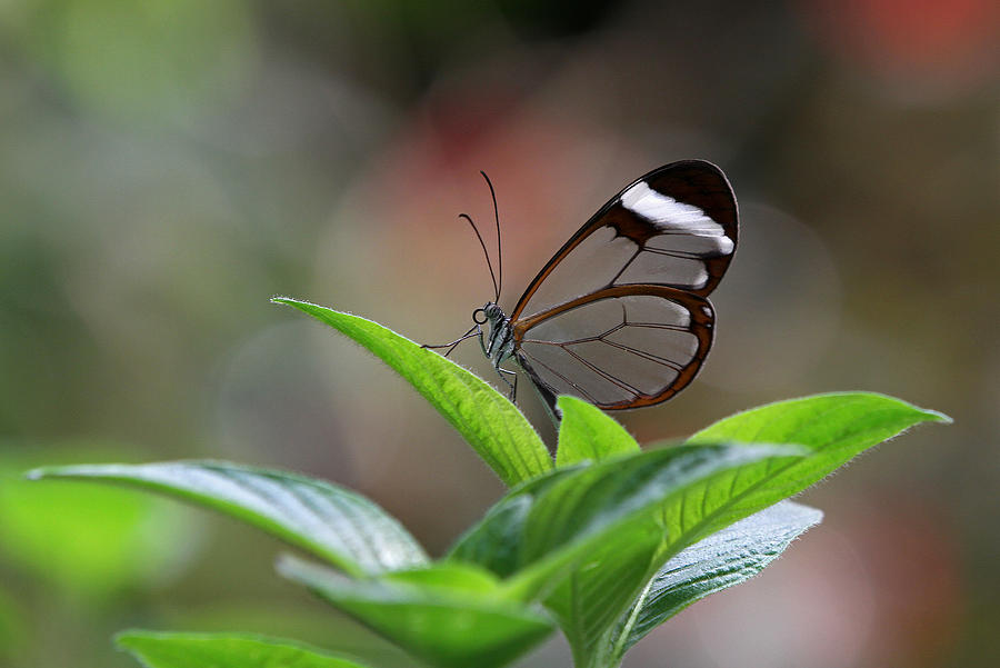 Glasswing Butterfly Photograph  - Glasswing Butterfly Fine Art Print