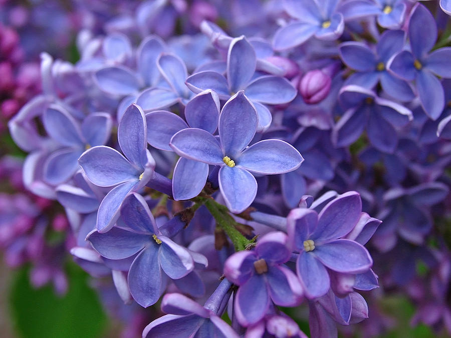 Glorious Lilac Bloom Photograph