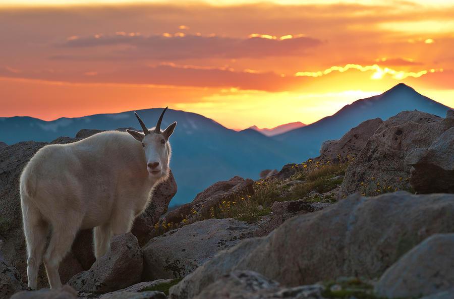 Glorious Mountain Goat Sunset Photograph