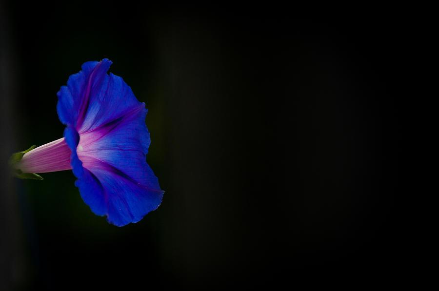 Morning Glory Photograph - Glorious Simplicity by Cheryl Baxter