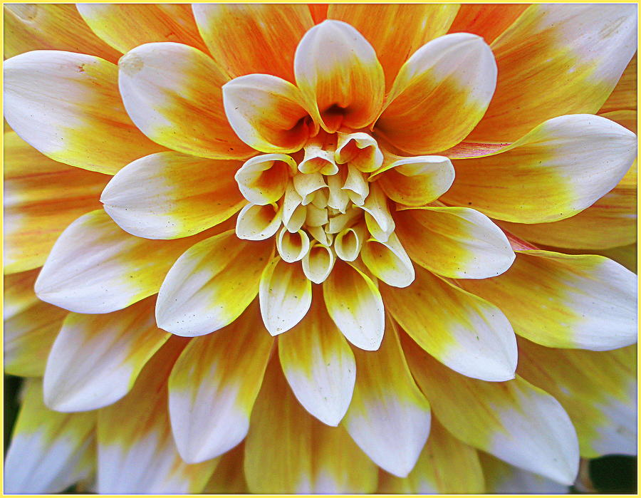 Glowing Dahlia Photograph