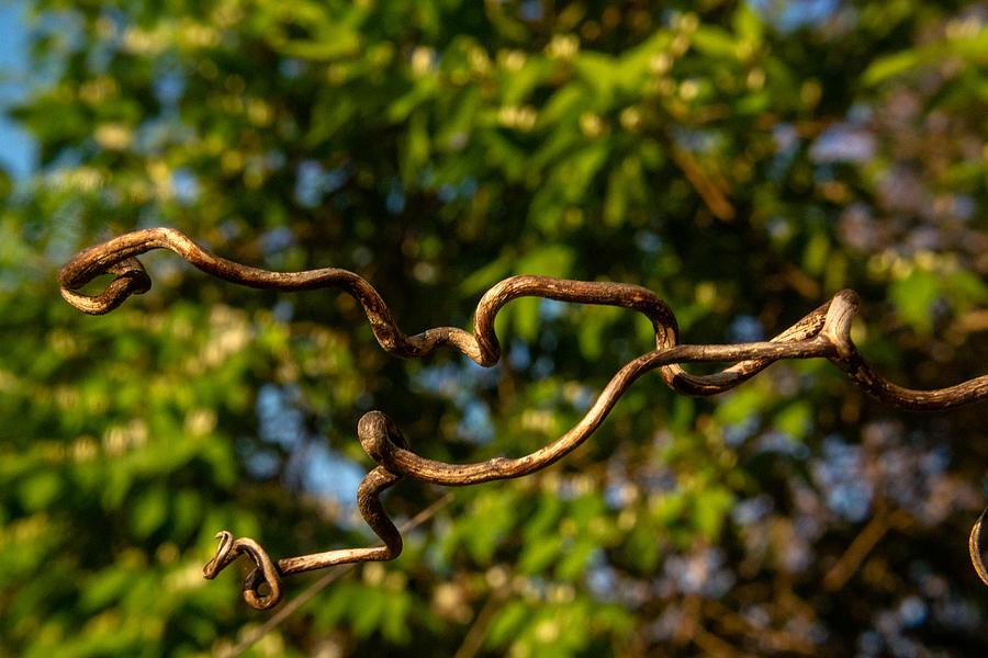 Gnarled Plant Tendrils Photograph