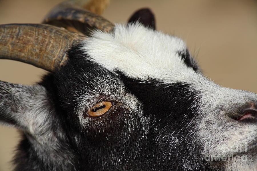 Goat 5d27189 Photograph