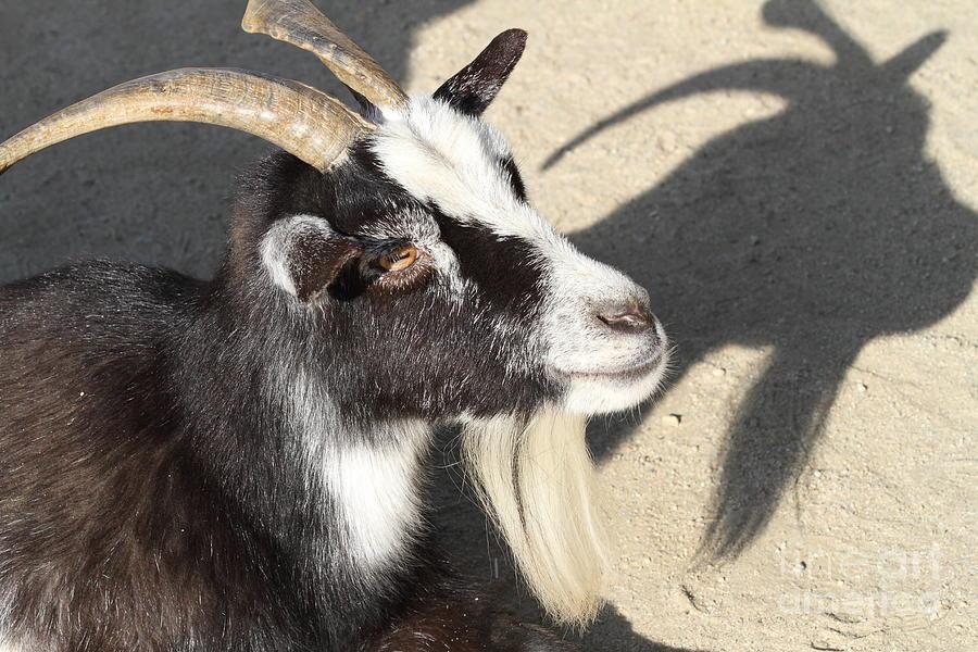Goat 7d27402 Photograph