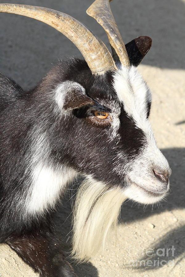 Goat 7d27405 Photograph