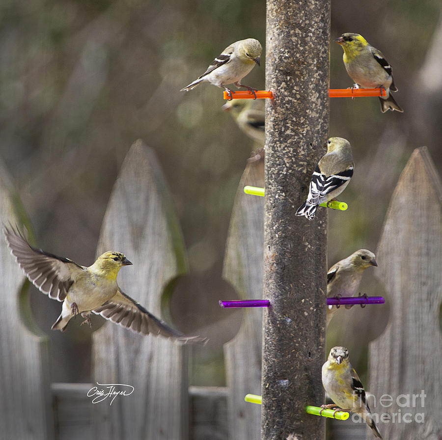 Gold Finch Cleared For Landing Photograph  - Gold Finch Cleared For Landing Fine Art Print