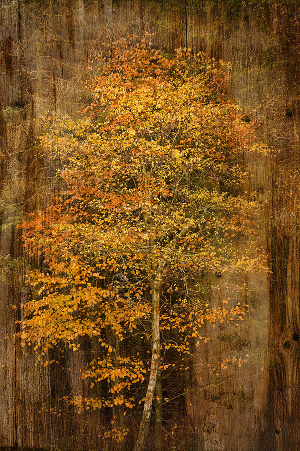Golden Birch Photograph  - Golden Birch Fine Art Print