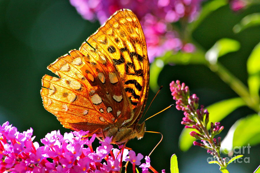 Golden Butterfly Photograph  - Golden Butterfly Fine Art Print