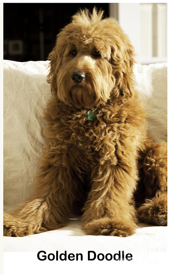 Golden Doodle is a photograph by Madeline Ellis which was uploaded on ...