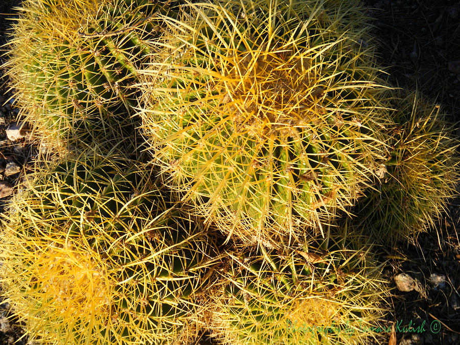 Golden fish hook barrel cactus photograph by tamara kulish for Fish hook barrel cactus