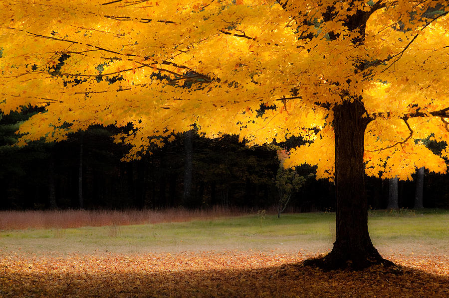 Golden Glow Of Autumn Fall Colors Photograph