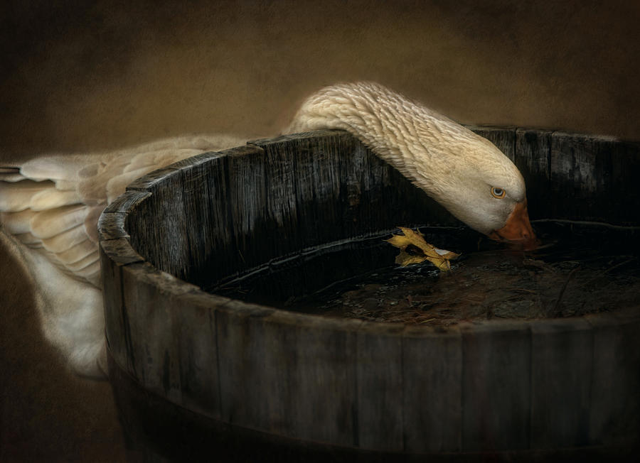 Golden Goose Photograph  - Golden Goose Fine Art Print