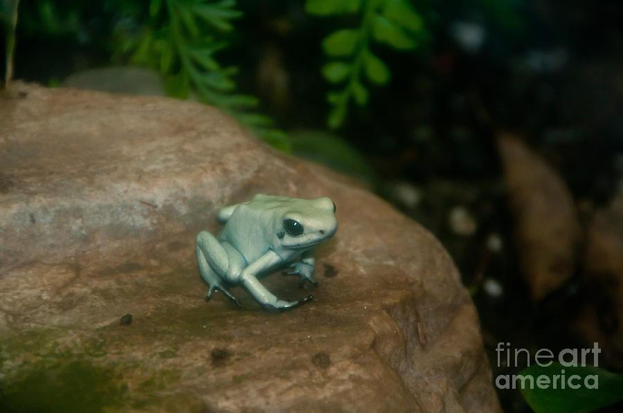 Nature Photograph - Golden Poison Frog Mint Green Morph by Mark Newman
