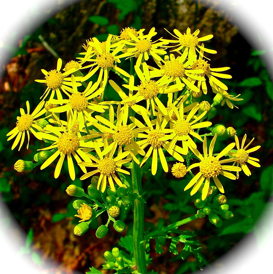 Golden Ragwort In Donivan Slough On Mile 283 Of Natchez Trace Parkway-ms Photograph