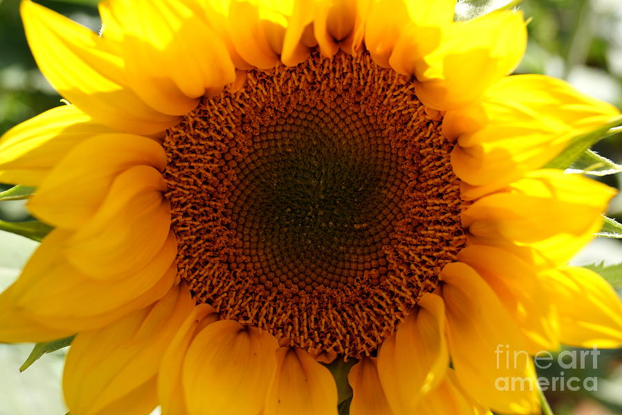 Golden Ratio Sunflower Photograph