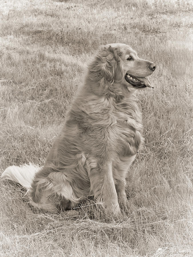 Golden Retriever Dog Sepia Photograph