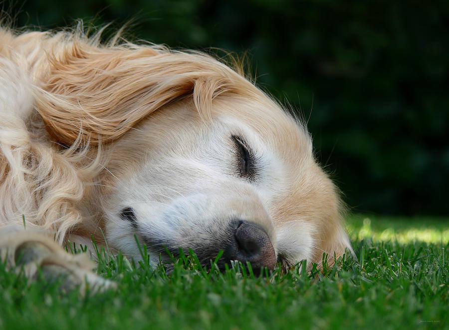 Golden Retriever Dog Sweet Dreams Photograph