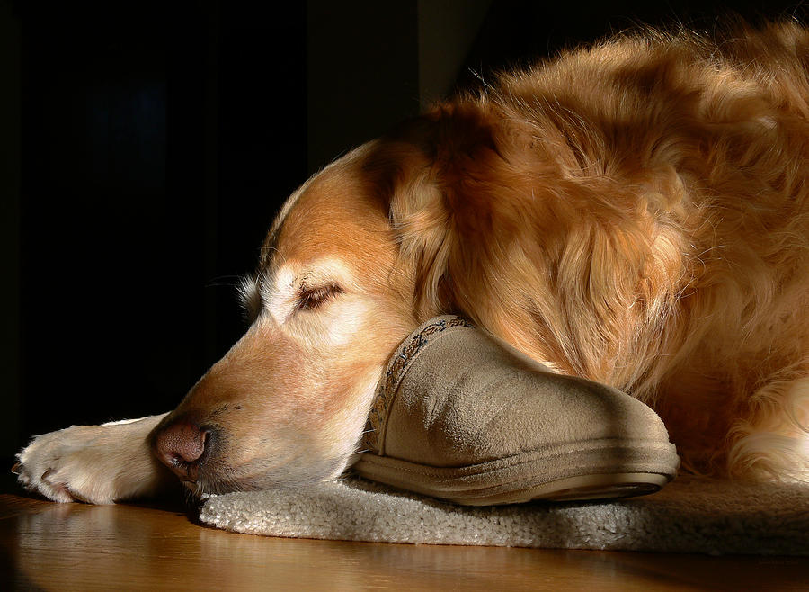 Golden Retriever Dog With Masters Slipper Photograph  - Golden Retriever Dog With Masters Slipper Fine Art Print