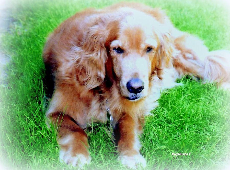 Dog Photograph - Golden Retriever by Kay Novy