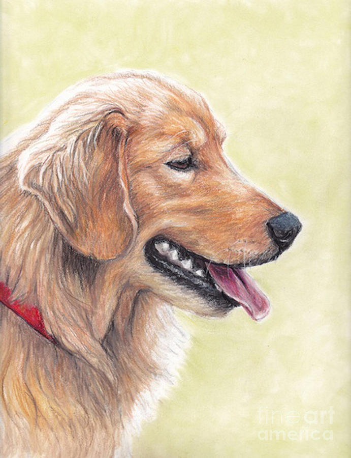 Golden Retriever Profile Drawing by Charlotte Yealey