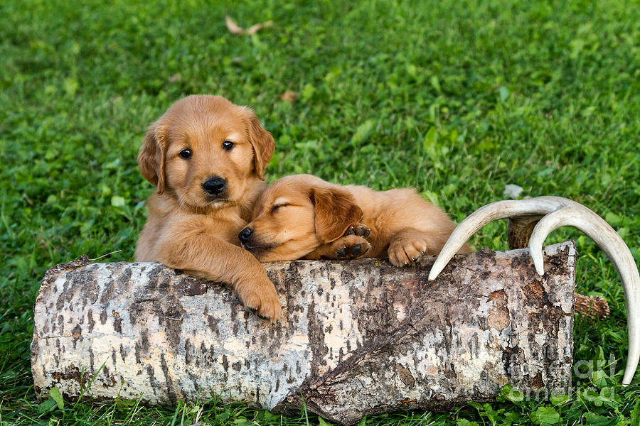 Golden Retriever Puppies Photograph  - Golden Retriever Puppies Fine Art Print