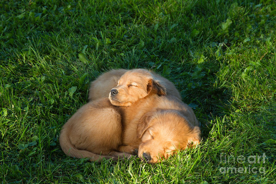 Golden Retriever Puppies Sleeping Photograph