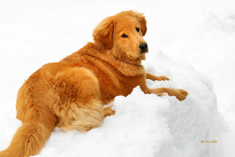 Golden Retriever Snowball Photograph