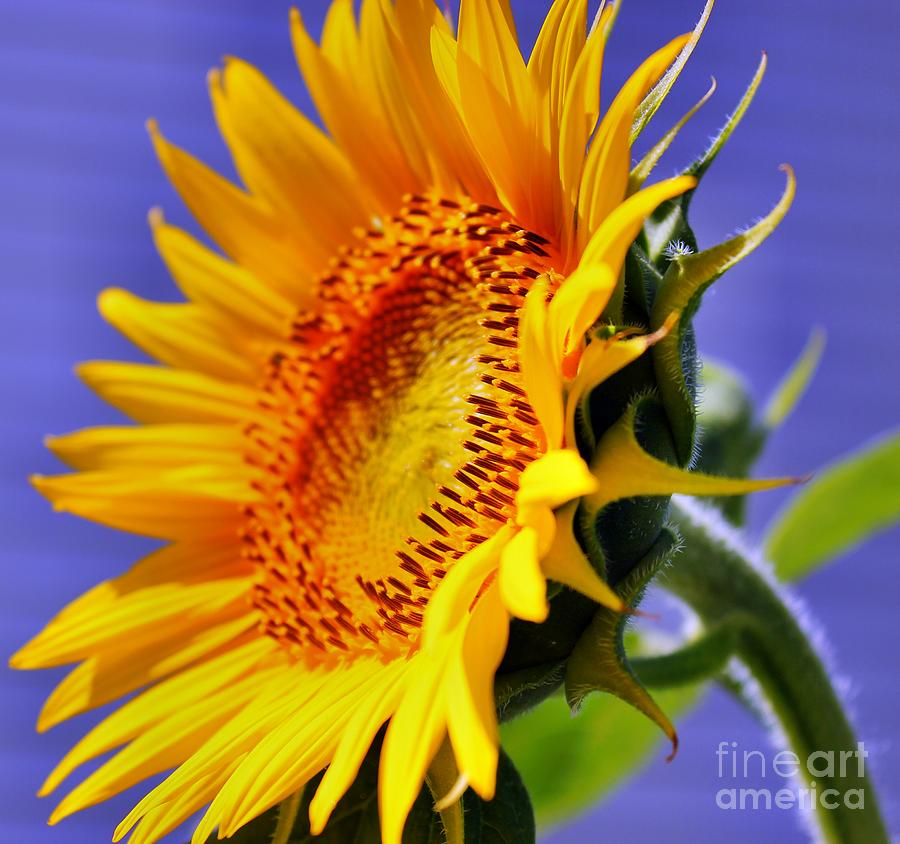 Golden Sunflower Photograph