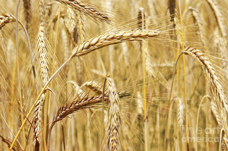 Golden Wheat  Photograph  - Golden Wheat  Fine Art Print