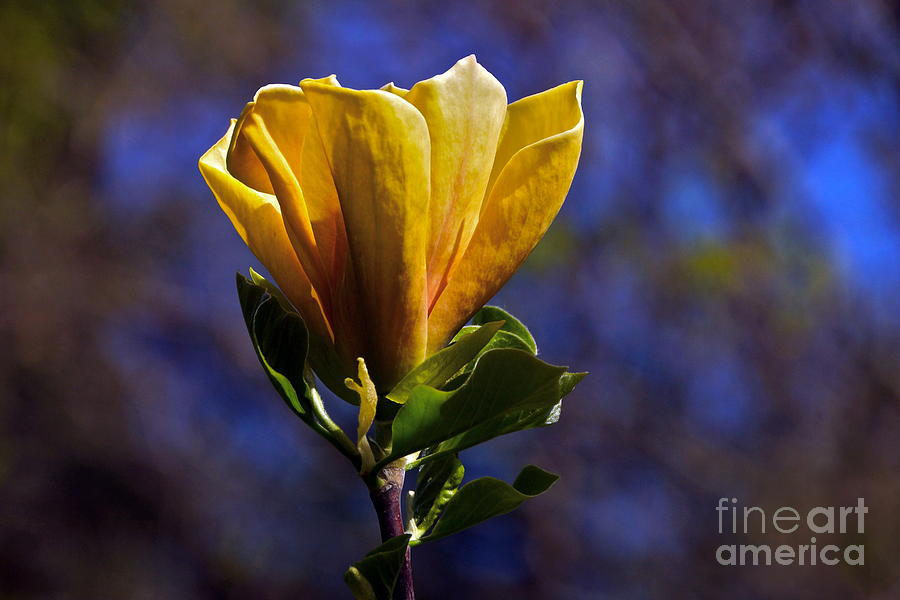 Golden Yellow Magnolia Blossom Photograph
