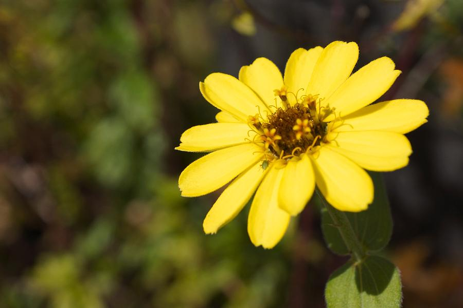 Golden Zinnia Photograph  - Golden Zinnia Fine Art Print