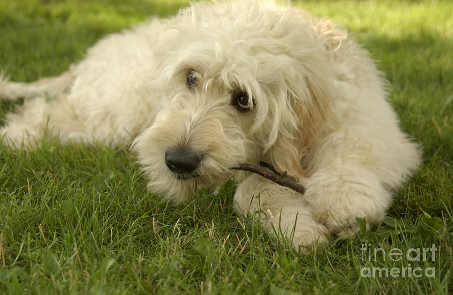 White Goldendoodles Goldendoodle Pup With Stick
