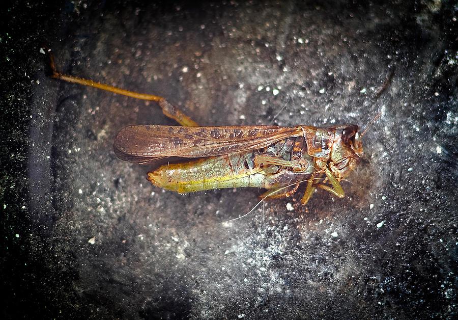 Goldenwings Grasshopper Photograph