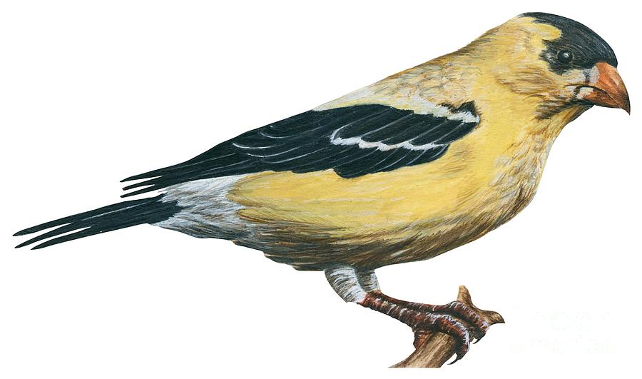 No People; Horizontal; Side View; Full Length; White Background; One Animal; Wildlife; Illustration And Painting; Zoology; Close Up; Bird; Feather; Beak; Animal Pattern; Yellow; Perching; Branch; Goldfinch; Carduelis Tristis; Wing Drawing - Goldfinch  by Anonymous
