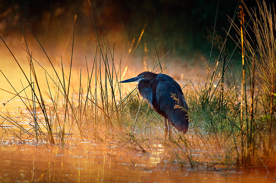 Goliath Heron With Sunrise Over Misty River Photograph